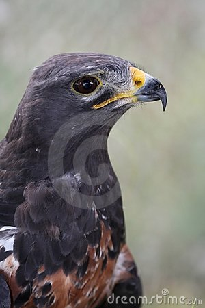 Jackal Buzzard Bird