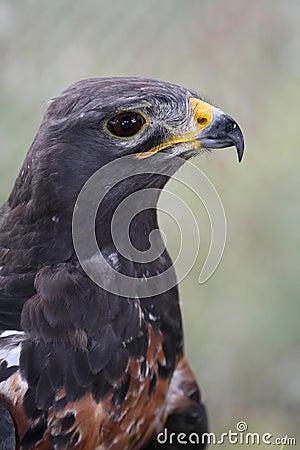 Jackal Buzzard Bird