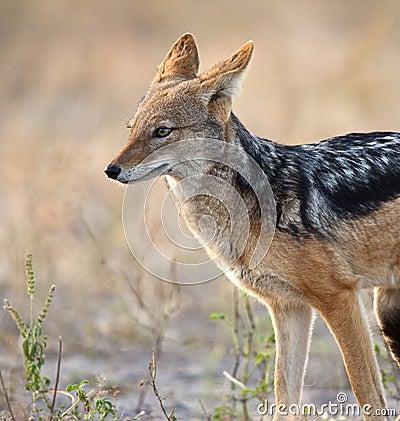 Jackal - Canis mesomalas - Botswana