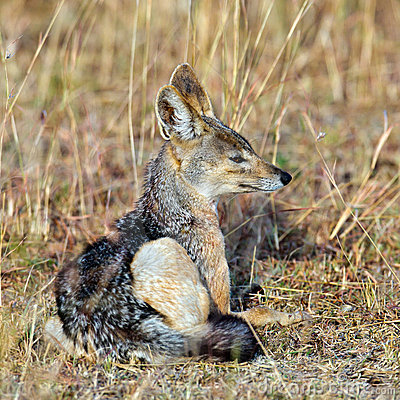 Jackal sitting in the grass