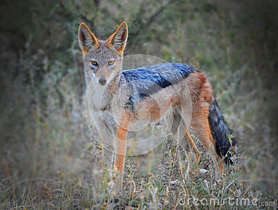 Black backed Jackal staring
