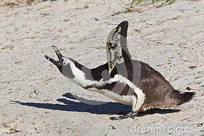 Jackass penguin calling