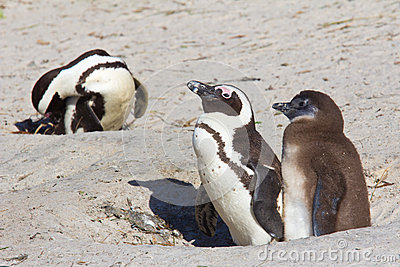 penguin parent and chick