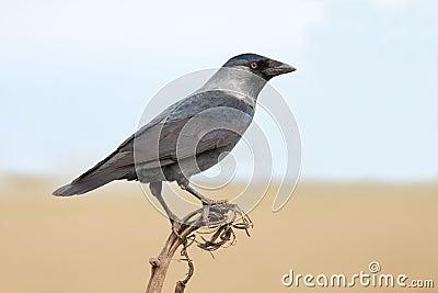 The Jackdaw (Corvus monedula)