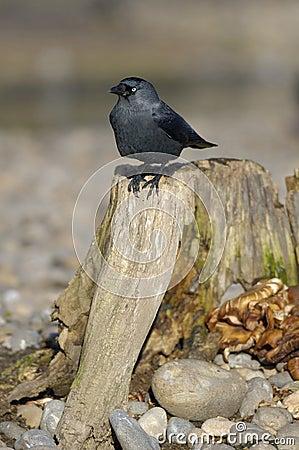 Jackdaw on tree stump