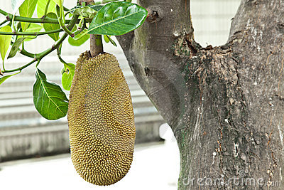 Jackfruit in the garden