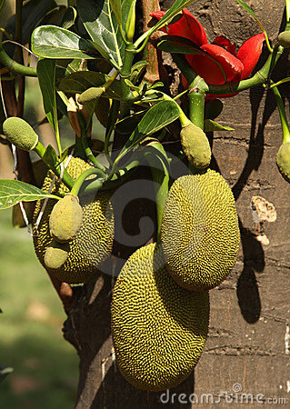 Jackfruit, India