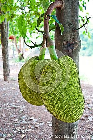 Jackfruit of Thailand