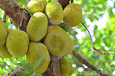 Jackfruit on tree