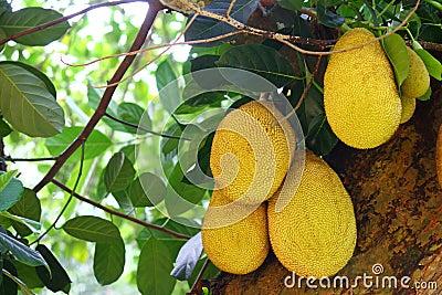 Jackfruit on tree