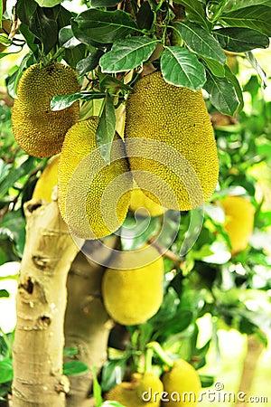 Jackfruits on tree
