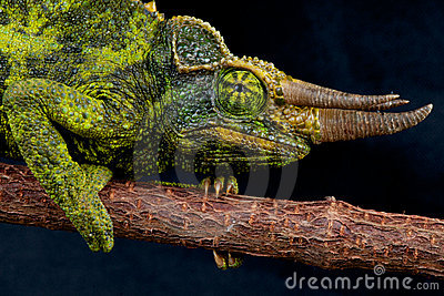 Jackson s chameleon
