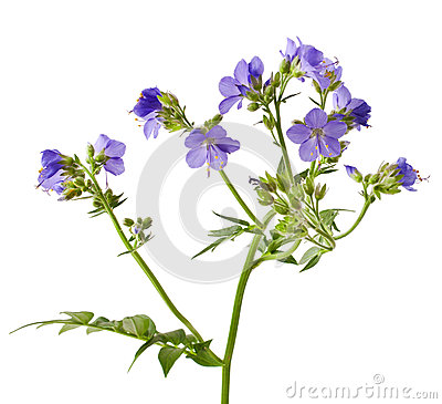 Free Jacob S Ladder Or Greek Valerian Royalty Free Stock Images - 70982609