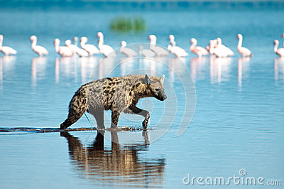 Jagd-Hyäne