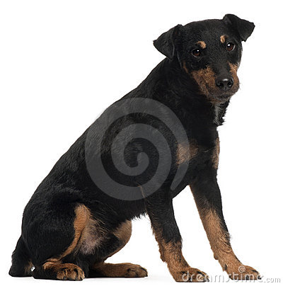 Jagdterrier or German Hunt Terrier, 4 years old