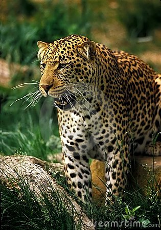 Free Jaguar Royalty Free Stock Photos - 110208