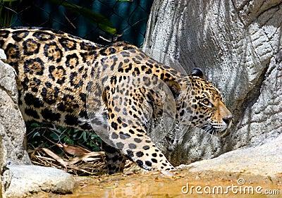 Jaguar 12