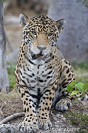 Free Jaguar Royalty Free Stock Photography - 834537