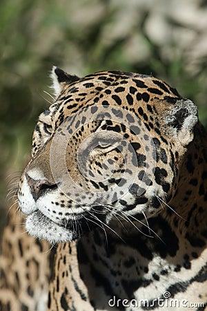 Jaguar 8681