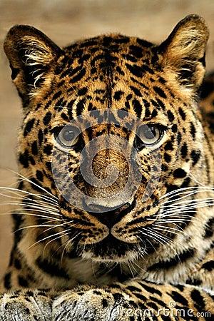 Free Jaguar. Royalty Free Stock Photos - 9576678