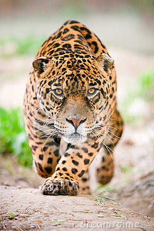 Jaguar Attack Stock Photos - Image: 14214583