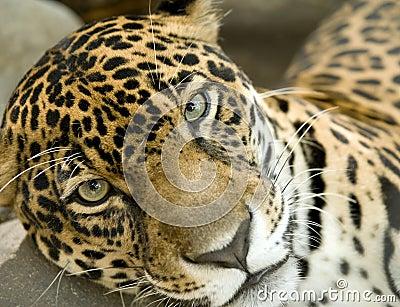 Jaguar big cat panthera onca, costa rica