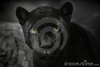 Jaguar black. Portrait