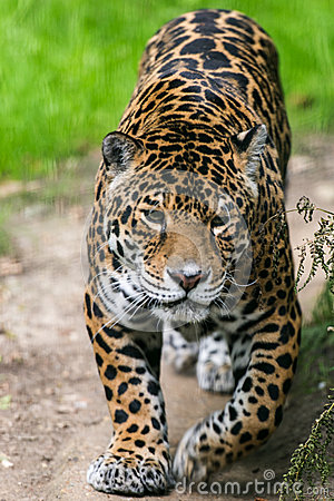 Jaguar Cat