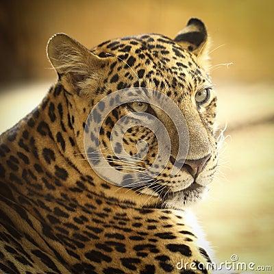Jaguar Stock Photo - Image: 39863017