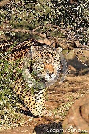 Jaguar de acecho