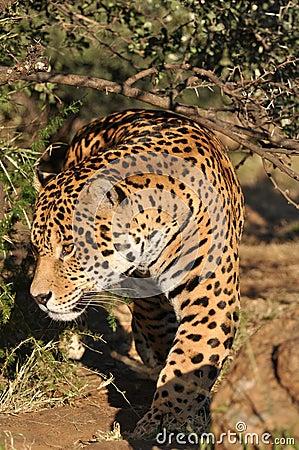 Jaguar de desengaço