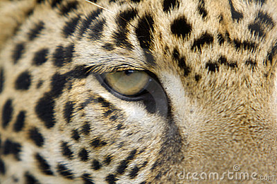 Jaguar Eye