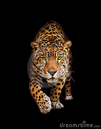 Free Jaguar In Darkness - Front View, Isolated Stock Image - 20337281