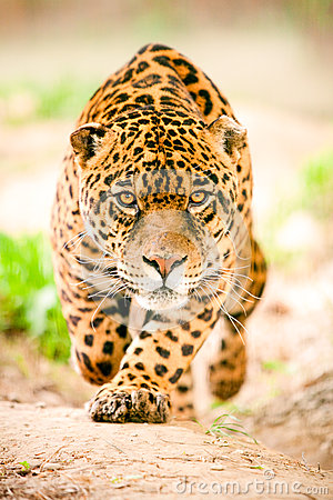 Free Jaguar In Motion Stock Photos - 61377213