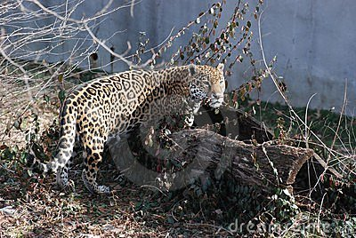 Jaguar in log