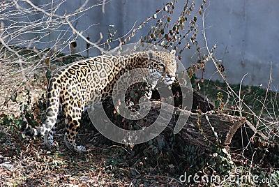 Jaguar in log