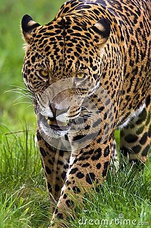 Jaguar - Panthera onca - Brazil