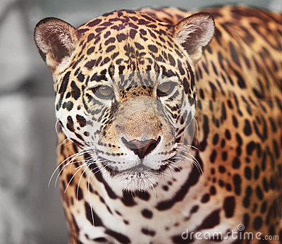 Jaguar - Panthera onca. Wildlife