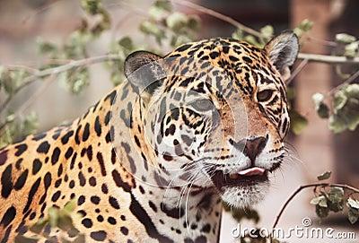 Jaguar - Panthera onca. Wildlife