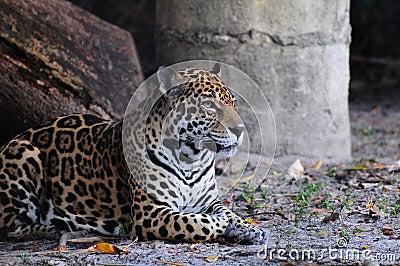 Jaguar Resting