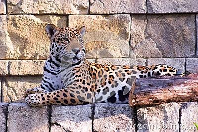 Jaguar Resting 2