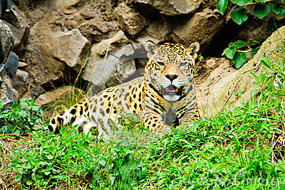 Jaguar resting after feeding