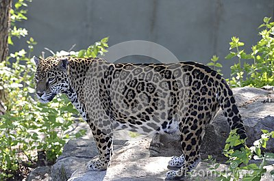 Jaguar on a rock2