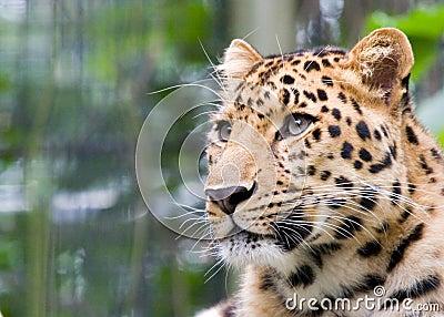 Jaguar s head