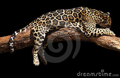 Jaguar sleeping