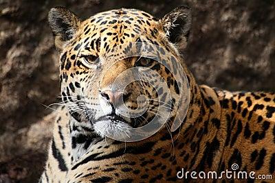 Jaguar staring at camera