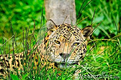 Jaguar staring at you