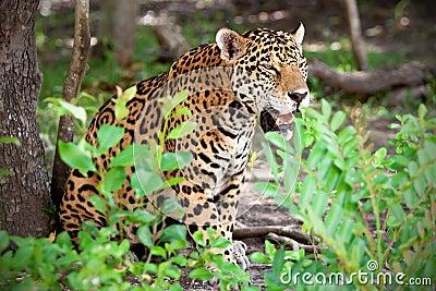 Jaguar in wildlife park of Jucatan