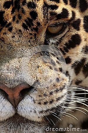 Jaguara
