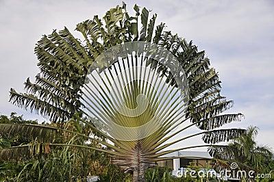 Jamaica palm